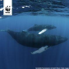 Sensationell!! Der Buckelwal in der Ostsee ist offensichtlich nicht alleine. Forscher sind sich sicher: Hier sind eine Buckelwalmutter und ihr Kalb unterwegs! Das gab es in der deutschen Ostsee noch nie (die Abbildung ist ein Symbolbild) .