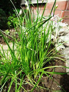 **Allium angulosum Kantenlauch**  Besonders geschützte einheimische Wildpflanze. Die ganze Pflanze ist essbar: Blätter und Blüten würzen Salate, Suppen, Eier-, Quark- und Kartoffelgerichte,...
