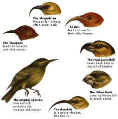 1000 images about natural selection darwin on pinterest finches evolution and charles darwin. Black Bedroom Furniture Sets. Home Design Ideas