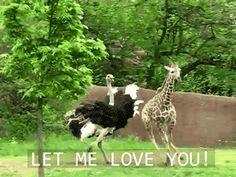 Ostrich chases a giraffe.