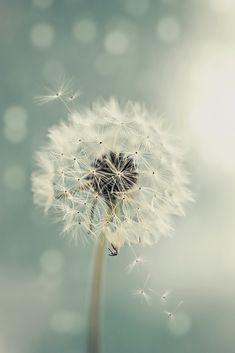 dandelion by lhianne - Photo 209757081 / Dandelion Wallpaper, Dandelion Wish, Dandelion Flower, White Dandelion, Dandelion Pictures, Image Deco, Jolie Photo, Make A Wish, Cute Wallpapers
