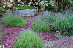roses, lavender, and what appears to be creeping thyme groundcover