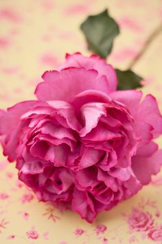 """Yves Piaget Rose: First of the spectacular """"Romantica"""" roses from the French rose hybridizer, Meilland // (image by Rona Wheeldon via Flowerona)"""