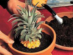 www.rustica.fr - DIY - Bouture originale, un ananas comme plante d'intérieur - Mettre l'ananas en pot