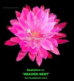 Epiphyllum hybrid 'Heaven Sent'