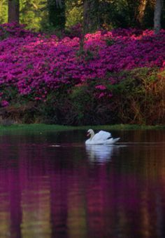 airlie gardens, wilmington nc....i will be going there soon!