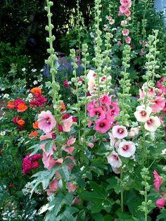 ROSE TREMIERE Vivace H X L adulte : 1,7 X 0,3 m Floraison : (fructification) Juillet à Août Rose trémière à fleurs simples roses, rouges, pourpres ou blanches. Exposition au soleil. Sol léger, pas trop sec à frais. Rustique, au moins jusqu'à -15°C. Feuillage caduc. Port Erigé. Intérêt estival.
