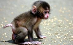 Extremely cute baby monkey how to watch cute monkey in cambodia cute baby monkey wallpaper 72 res monkey family cute baby monkey stock photo Cute Baby Monkey, Cute Baby Animals, Funny Animals, Animal Babies, Monkey Monkey, Primates, Very Cute Baby, Cute Little Baby, Monkey Pictures