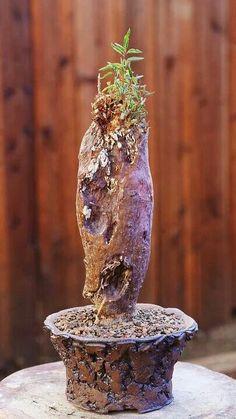 Euphorbia oatsii