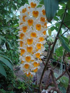 Dendrobium thyrsiflorum http://lefotodiluisella.blogspot.it/