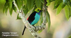 Manu National Park Vögel Vogelbeobachtung Manu National parkbird, Tierwelt & Photography Tours