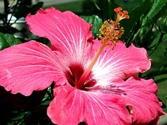 My good old hibiscus!