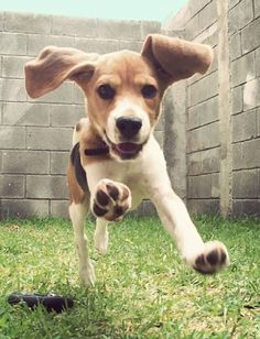 so playful with those big floppy ears