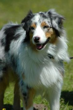 Omy goodness, I want one of these someday. Need a yard, pronto! Australian Shepherd