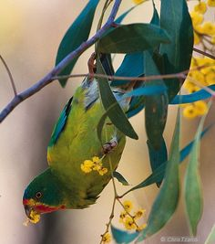 Woodland Birds for Biodiversity Love Birds, Beautiful Birds, Australian Parrots, Talking Parrots, Extinct Animals, Plant Species, Woodland, Wildlife, Cute Animals