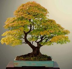 Beautiful acer palmatum. A possible model for UkiRoot#1