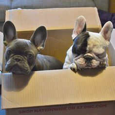 They're pretty great.   Manny And Frank Are The Cutest Frenchie Brothers Of Instagram