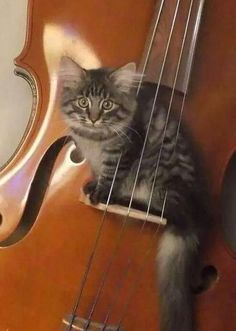 ♔ Kitty in violin ~ Charming picture