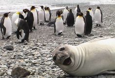 A seal photobombs penguins