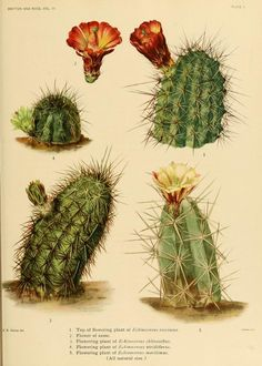 The Cactaceae : descriptions and illustrations of plants of the cactus family / by N.L. Britton and J.N. Rose. Washington: Carnegie Institution of Washington, 1919-1923.