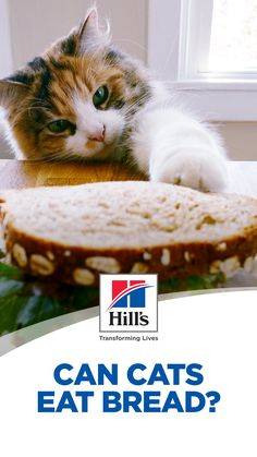 A slice of warm bread is a tasty treat for many pet parents but should it be shared with a feline friend? Can cats eat bread, or is bread bad for cats? Before giving your pet some of your sandwich or baguette, here's what you need to know about cats and bread. Kittens Cutest, Cats And Kittens, Cute Cats, Cute Baby Animals, Animals And Pets, Cat Bread, Ricotta Cheesecake, Cat Puns, Cat Nutrition