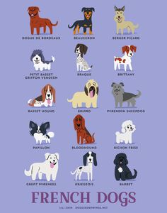 Such Good Dogs: Breed of the Month--Bichon Frise Bichon Frise, Basset Hound, Dog Breeds Chart, Puppy Breeds, Petit Basset Griffon Vendeen, French Dogs, French Dog Breeds, French Bulldog, The Perfect Dog