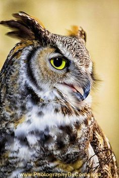 Untitled by Cornell Gill Wise and devious Owl Photos, Owl Pictures, Beautiful Owl, Animals Beautiful, Owl Bird, Pet Birds, Animals And Pets, Cute Animals, Photo Animaliere