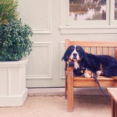 comfort - Bernese Mountain Dog