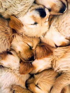Pile of golden puppies