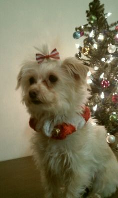 My beautiful #morkie #dogs #cute girl!