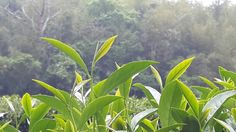 2014 Spring Oolong Tea in Taiwan