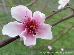 daddykirbs' garden: My Garden & Orchard 2013: Fruit in Bloom