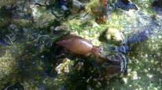 Caracol de agua. En mi estanque