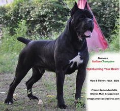 Stud - San Rocco Cane Corso Puppies For Sale Cane Corso Dog Breed, Cane Corso Italian Mastiff, Cane Corso Mastiff, Cane Corso Puppies, Italian Dogs, Bred Pit, Unusual Dog Breeds, Huge Dogs, Mans Best Friend