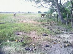 Mantecal, Apure mantecal estado apure, Autor: luisrivas