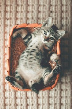 Tabby Photo of Tabby Kitten Lying on Orange Basket Cat luve stories @ Cute Kittens, Tabby Kittens, Happy Animals, Cute Animals, Funny Animals, Coco Chat, Chat Maine Coon, Chesire Cat, Baby Animals