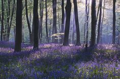 'Bluebell Dawn', Micheldever Wood, Hampshire, England. Photograph by Louis Neville