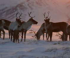 Caribou | Flickr - Photo Sharing!