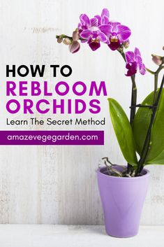 Learn the secret method for how to rebloom orchids in effective ways. Learn the secret method for how to rebloom orchids in effective ways. Orchid Plant Care, Orchid Roots, Orchid Plants, How To Plant Orchids, Orchid Flowers, Potted Plants, Indoor Orchid Care, Flowering Plants, Gardening