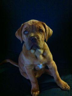 12 week old French Mastiff.