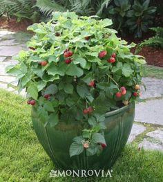 Raspberry Shortcake™ from the BrazelBerries™ Collection, Dwarf Thornless Raspberry, Monrovia
