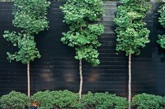 gingko-trees-black-fence-william-morrow-landscape-gardenista