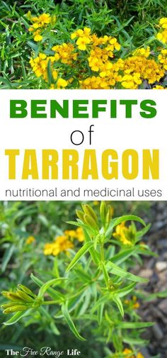 Tarragon is a top culinary herb. Did you know it can be used to ease toothaches and fight anxiety? Read on to find out all the benefits of tarragon