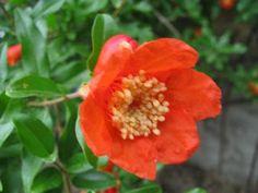 Yüksek Tansiyona Karşı Nar Çiçeği | Alternatif Tedavi Şifalı Bitkiler