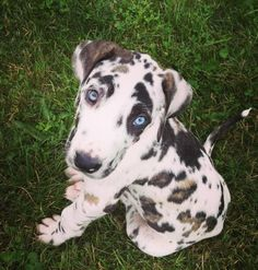Great Dane puppy! He's adorable!