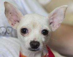 Petango.com – Meet Megan, a 1 year 1 month Terrier / Chihuahua, Short Coat available for adoption in COLORADO SPRINGS, CO http://www.petango.com/Adopt/Dog-Terrier-31978094