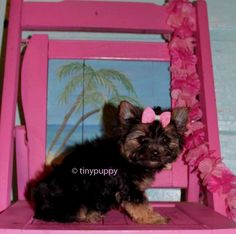 teacup yorkie, half Parti yorkie, Black and Tan yorkshire terrier puppy, micro yorkie Toy Yorkshire Terrier, Yorkshire Terrier Haircut, Teacup Yorkie, Yorkie Puppy, Toy Puppies, Dog Barking, Cute Creatures, Terrier Dogs, Training Your Dog