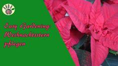 Easy Gardening - Weihnachtsstern pflegen