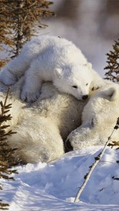 Polar Bears Amazing World beautiful amazing. Baby on momma bear Animals And Pets, Baby Animals, Cute Animals, Wild Animals, Baby Giraffes, Safari Animals, Beautiful Creatures, Animals Beautiful, Love Bear