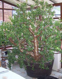 HUGE Jade Plant!!!  WOW i LOVE this.  amazing.